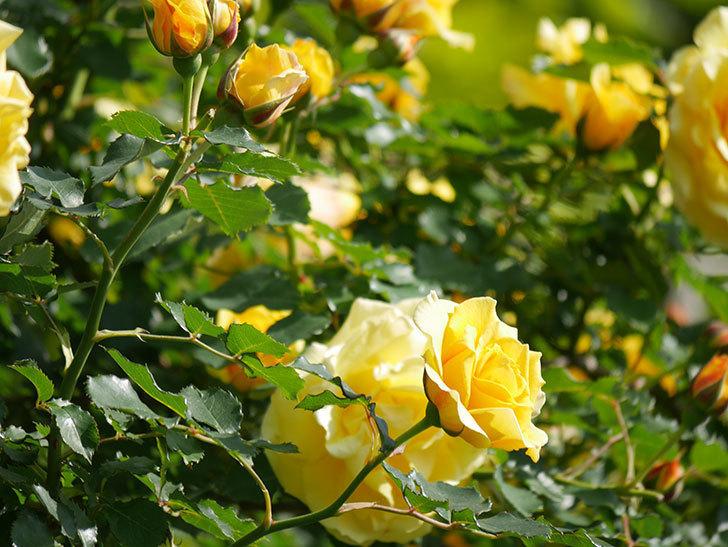 つるゴールドバニー(Gold Bunny Climbing)の花がたくさん咲いた。ツルバラ。2021年-097.jpg