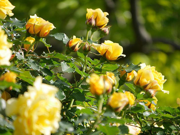 つるゴールドバニー(Gold Bunny Climbing)の花がたくさん咲いた。ツルバラ。2021年-098.jpg
