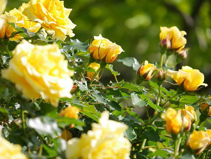 つるゴールドバニー(Gold Bunny Climbing)の花がたくさん咲いた。ツルバラ。2021年-099.jpg