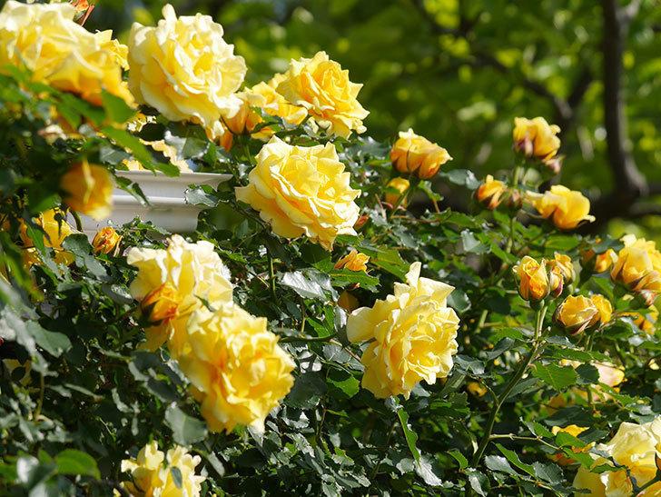 つるゴールドバニー(Gold Bunny Climbing)の花がたくさん咲いた。ツルバラ。2021年-100.jpg