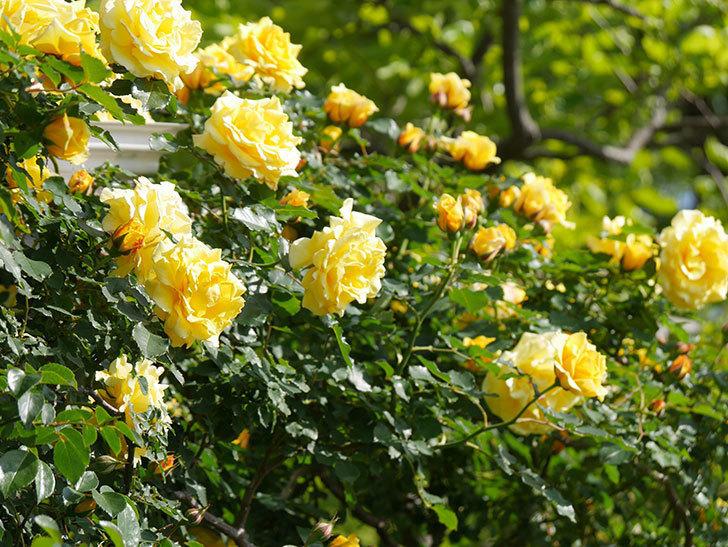 つるゴールドバニー(Gold Bunny Climbing)の花がたくさん咲いた。ツルバラ。2021年-101.jpg