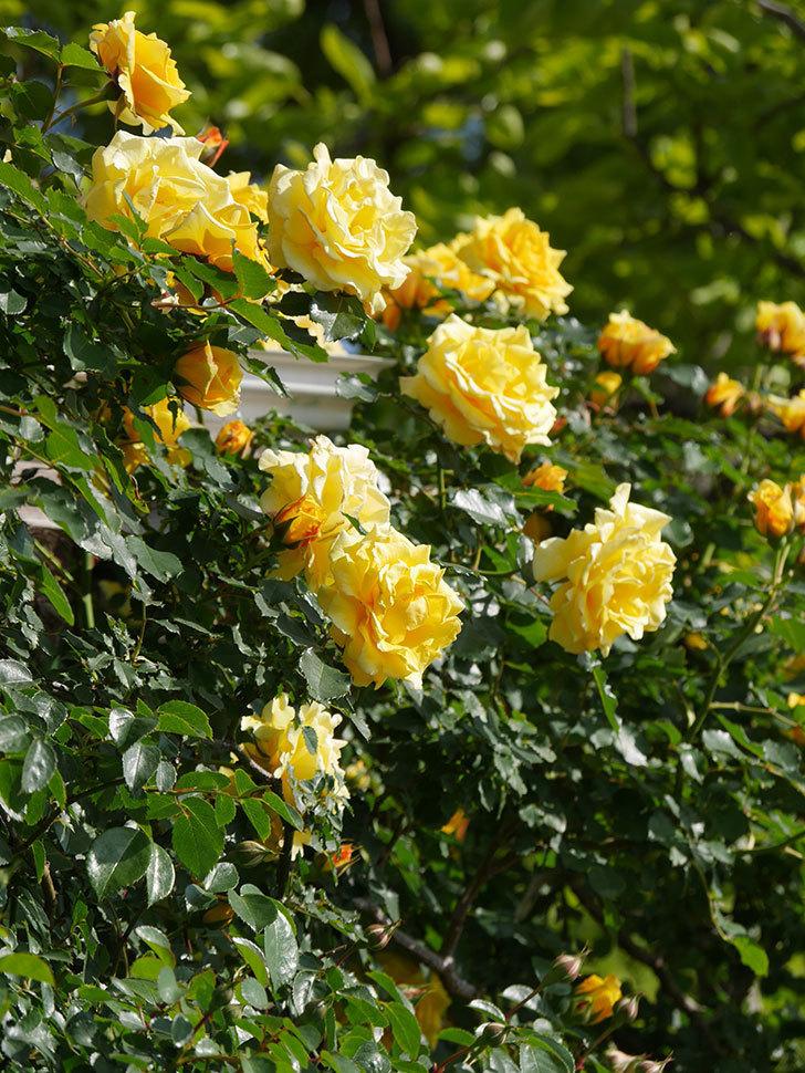 つるゴールドバニー(Gold Bunny Climbing)の花がたくさん咲いた。ツルバラ。2021年-102.jpg