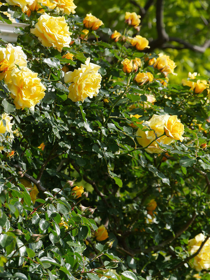 つるゴールドバニー(Gold Bunny Climbing)の花がたくさん咲いた。ツルバラ。2021年-103.jpg
