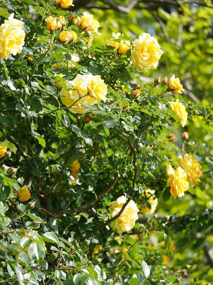つるゴールドバニー(Gold Bunny Climbing)の花がたくさん咲いた。ツルバラ。2021年-104.jpg