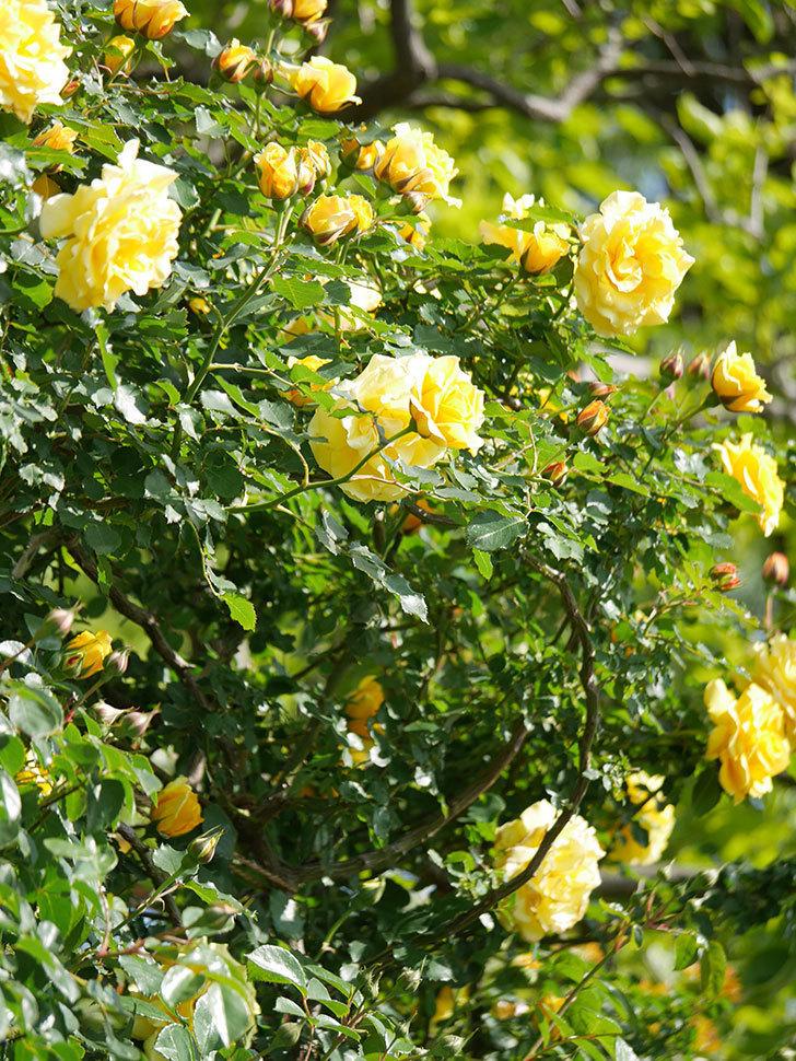 つるゴールドバニー(Gold Bunny Climbing)の花がたくさん咲いた。ツルバラ。2021年-105.jpg