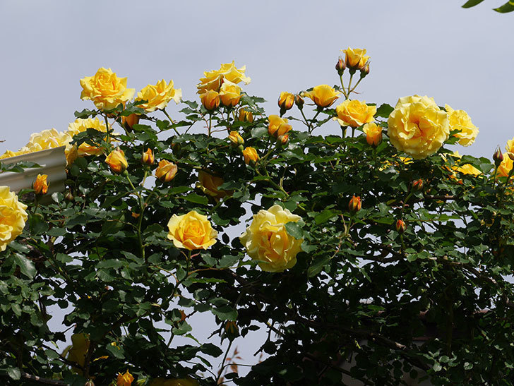 つるゴールドバニー(Gold Bunny Climbing)の花がたくさん咲いた。ツルバラ。2021年-106.jpg
