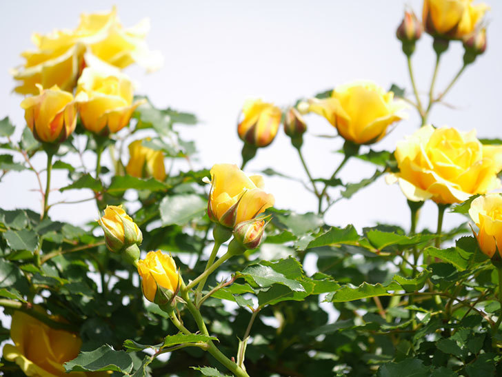つるゴールドバニー(Gold Bunny Climbing)の花がたくさん咲いた。ツルバラ。2021年-108.jpg
