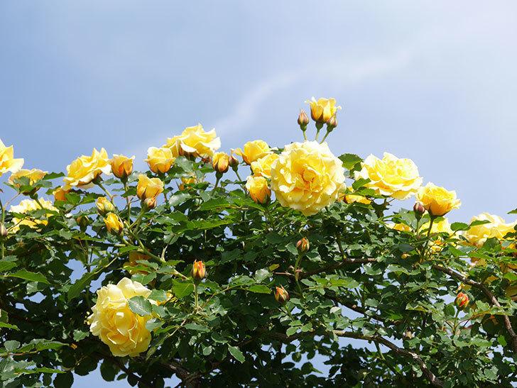 つるゴールドバニー(Gold Bunny Climbing)の花がたくさん咲いた。ツルバラ。2021年-109.jpg