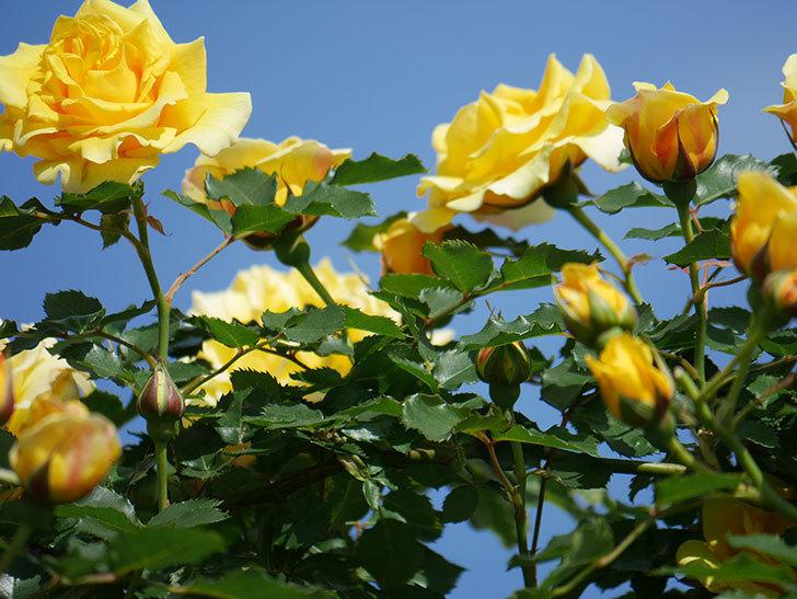 つるゴールドバニー(Gold Bunny Climbing)の花がたくさん咲いた。ツルバラ。2021年-110.jpg
