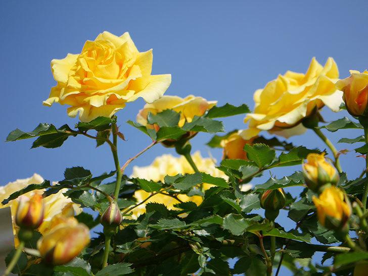 つるゴールドバニー(Gold Bunny Climbing)の花がたくさん咲いた。ツルバラ。2021年-111.jpg