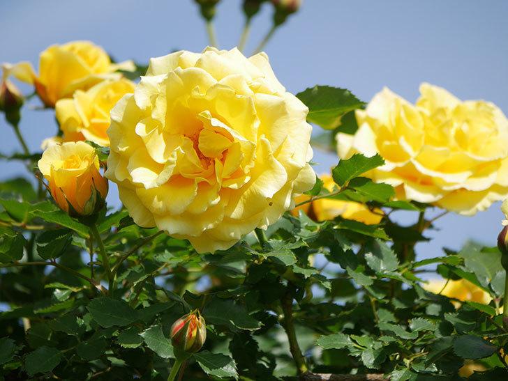 つるゴールドバニー(Gold Bunny Climbing)の花がたくさん咲いた。ツルバラ。2021年-112.jpg
