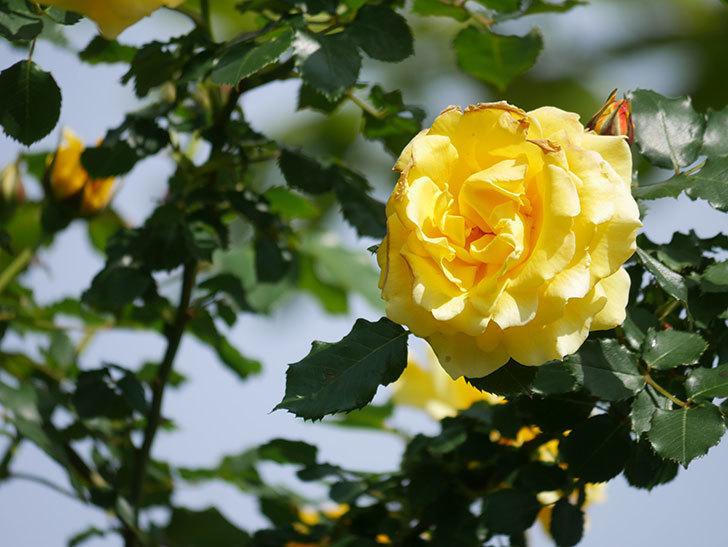 つるゴールドバニー(Gold Bunny Climbing)の花がたくさん咲いた。ツルバラ。2021年-113.jpg