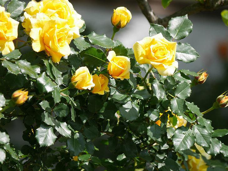 つるゴールドバニー(Gold Bunny Climbing)の花がたくさん咲いた。ツルバラ。2021年-115.jpg