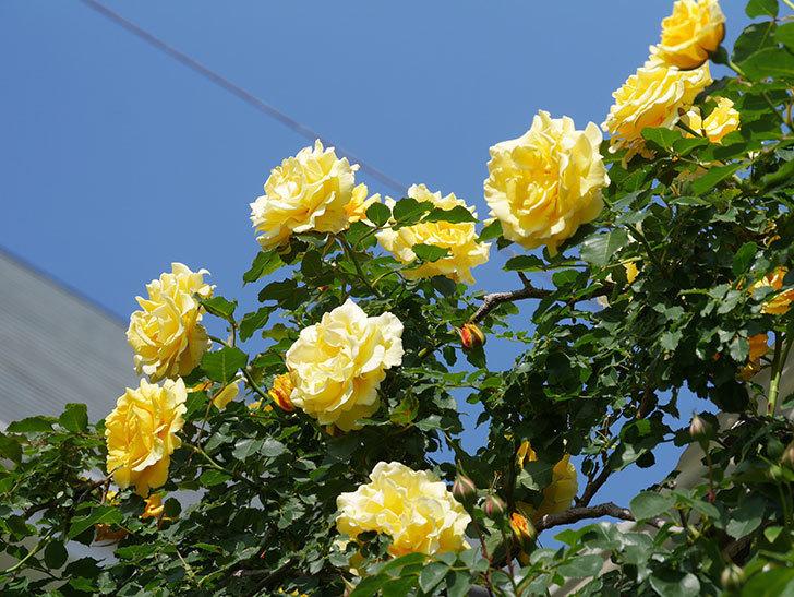 つるゴールドバニー(Gold Bunny Climbing)の花がたくさん咲いた。ツルバラ。2021年-116.jpg