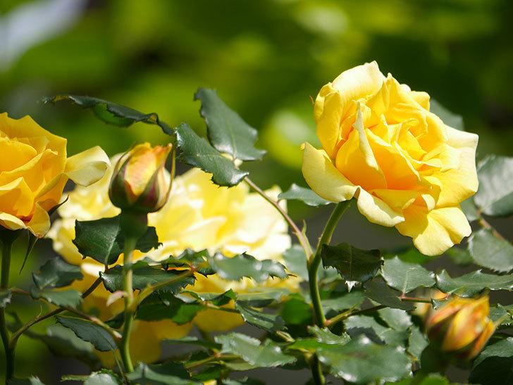 つるゴールドバニー(Gold Bunny Climbing)の花がたくさん咲いた。ツルバラ。2021年-117.jpg