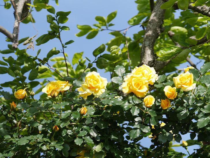 つるゴールドバニー(Gold Bunny Climbing)の花がたくさん咲いた。ツルバラ。2021年-118.jpg