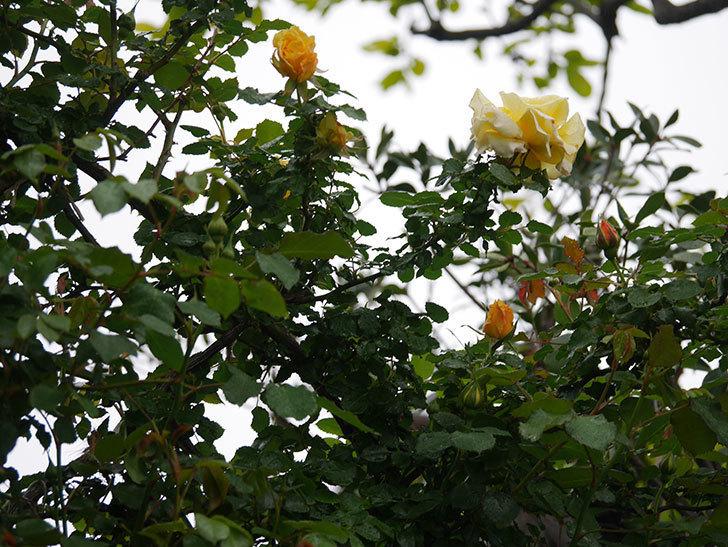つるゴールドバニー(Gold Bunny Climbing)の花が咲いた。ツルバラ。2021年-001.jpg