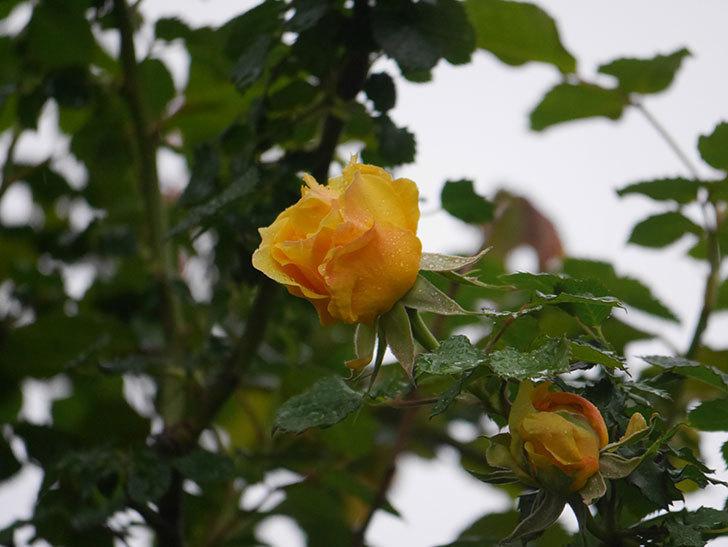 つるゴールドバニー(Gold Bunny Climbing)の花が咲いた。ツルバラ。2021年-002.jpg