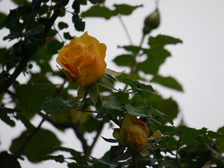 つるゴールドバニー(Gold Bunny Climbing)の花が咲いた。ツルバラ。2021年-004.jpg