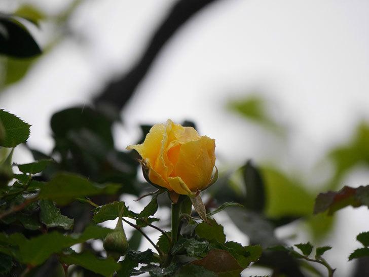 つるゴールドバニー(Gold Bunny Climbing)の花が咲いた。ツルバラ。2021年-005.jpg