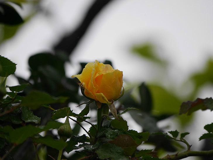 つるゴールドバニー(Gold Bunny Climbing)の花が咲いた。ツルバラ。2021年-006.jpg