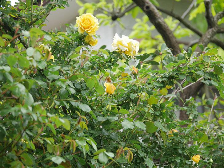 つるゴールドバニー(Gold Bunny Climbing)の花が咲いた。ツルバラ。2021年-008.jpg
