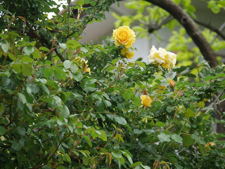 つるゴールドバニー(Gold Bunny Climbing)の花が咲いた。ツルバラ。2021年-009.jpg