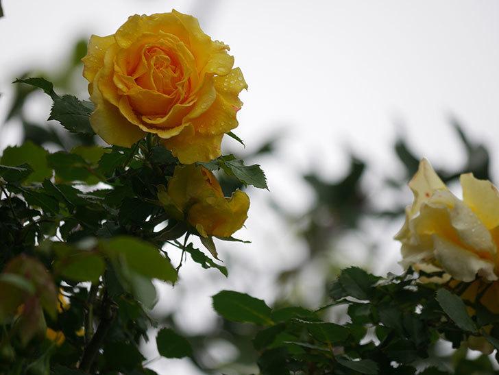 つるゴールドバニー(Gold Bunny Climbing)の花が咲いた。ツルバラ。2021年-011.jpg