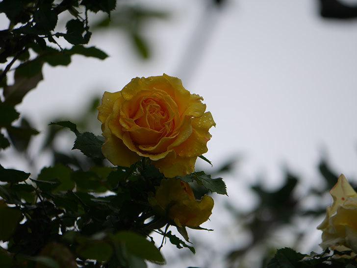 つるゴールドバニー(Gold Bunny Climbing)の花が咲いた。ツルバラ。2021年-012.jpg