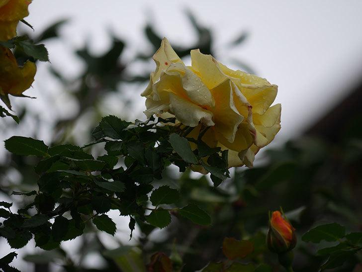 つるゴールドバニー(Gold Bunny Climbing)の花が咲いた。ツルバラ。2021年-013.jpg