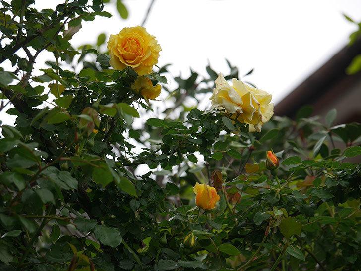 つるゴールドバニー(Gold Bunny Climbing)の花が咲いた。ツルバラ。2021年-014.jpg