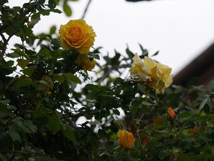 つるゴールドバニー(Gold Bunny Climbing)の花が咲いた。ツルバラ。2021年-015.jpg