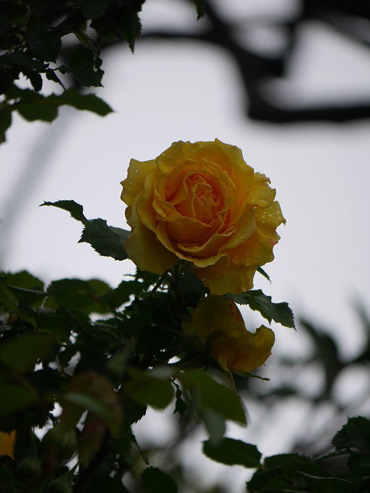 つるゴールドバニー(Gold Bunny Climbing)の花が咲いた。ツルバラ。2021年-016.jpg
