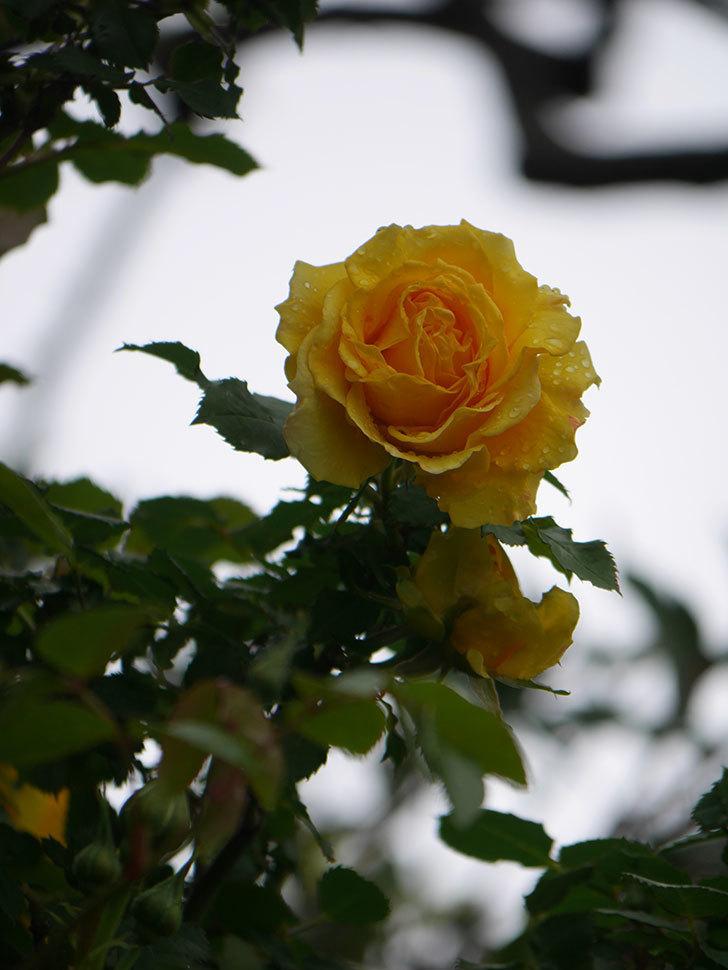 つるゴールドバニー(Gold Bunny Climbing)の花が咲いた。ツルバラ。2021年-017.jpg