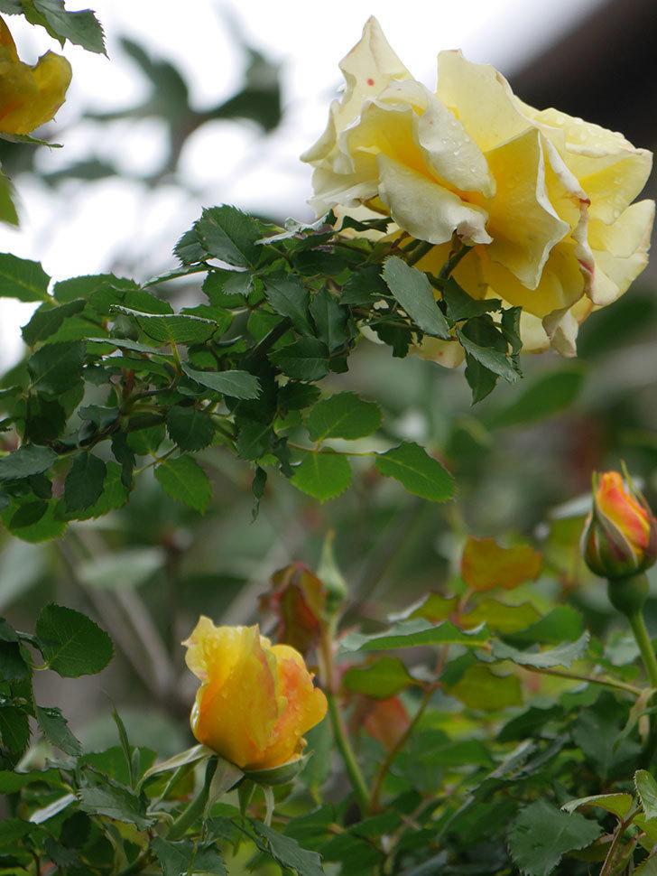 つるゴールドバニー(Gold Bunny Climbing)の花が咲いた。ツルバラ。2021年-018.jpg