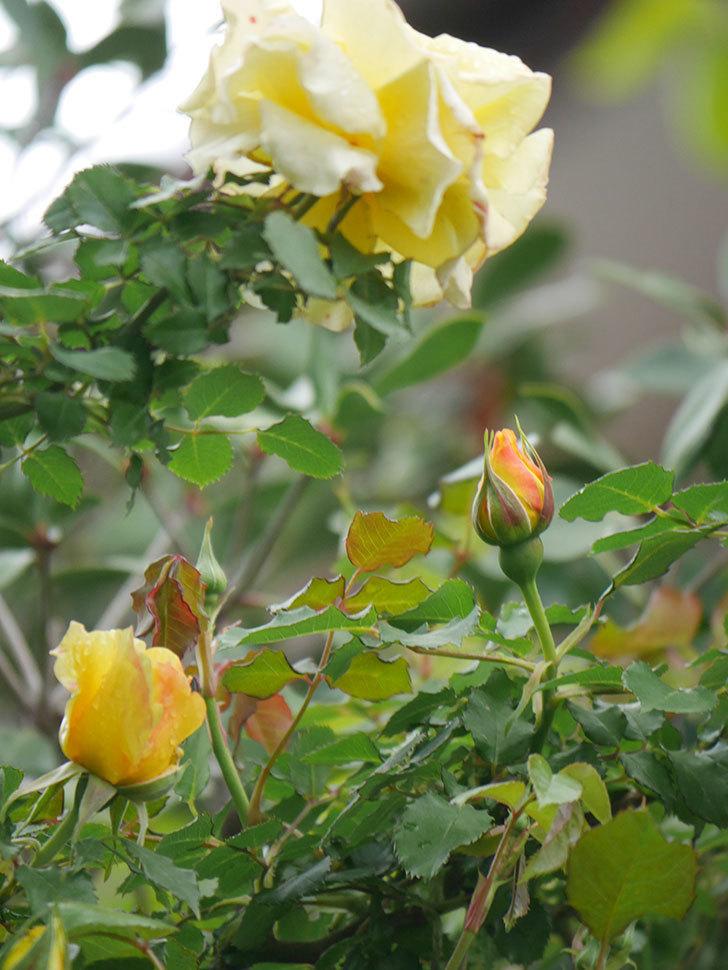 つるゴールドバニー(Gold Bunny Climbing)の花が咲いた。ツルバラ。2021年-019.jpg
