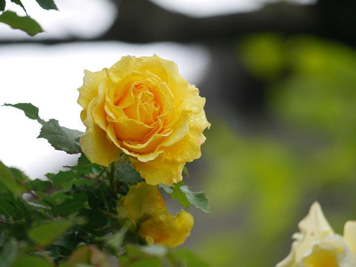 つるゴールドバニー(Gold Bunny Climbing)の花が咲いた。ツルバラ。2021年-020.jpg