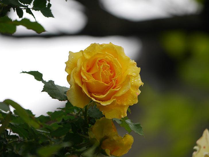 つるゴールドバニー(Gold Bunny Climbing)の花が咲いた。ツルバラ。2021年-021.jpg