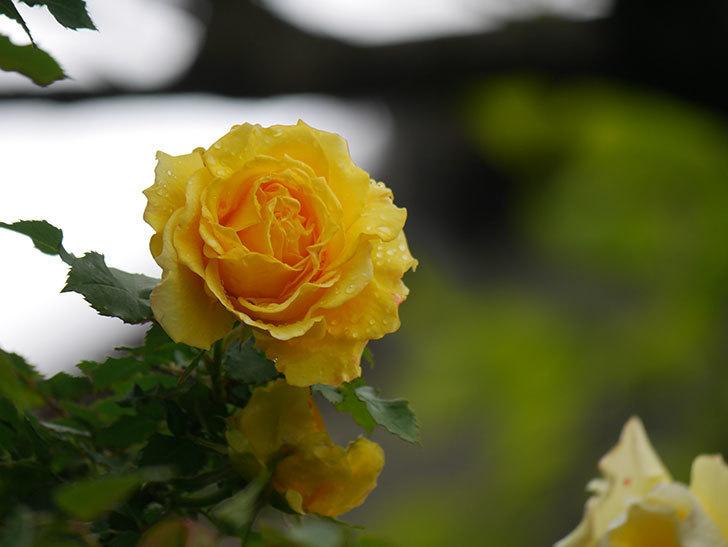 つるゴールドバニー(Gold Bunny Climbing)の花が咲いた。ツルバラ。2021年-022.jpg