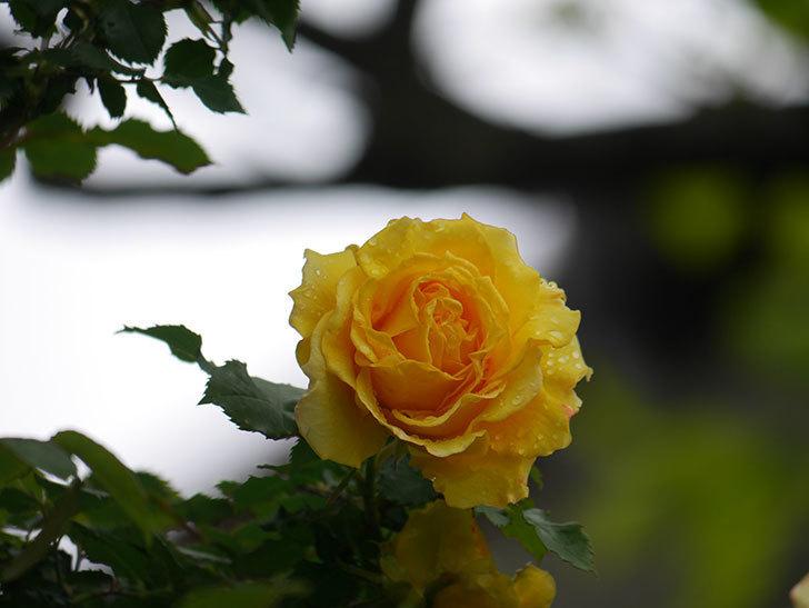 つるゴールドバニー(Gold Bunny Climbing)の花が咲いた。ツルバラ。2021年-023.jpg
