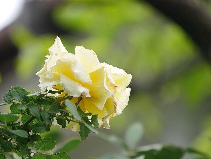 つるゴールドバニー(Gold Bunny Climbing)の花が咲いた。ツルバラ。2021年-024.jpg