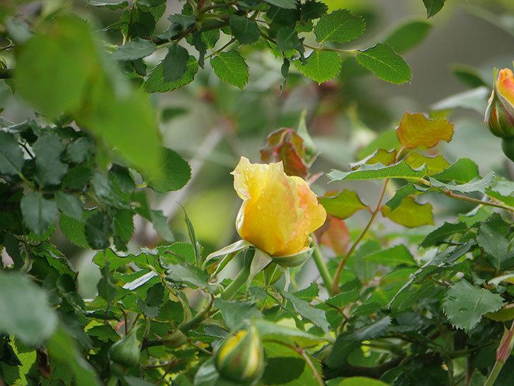 つるゴールドバニー(Gold Bunny Climbing)の花が咲いた。ツルバラ。2021年-025.jpg