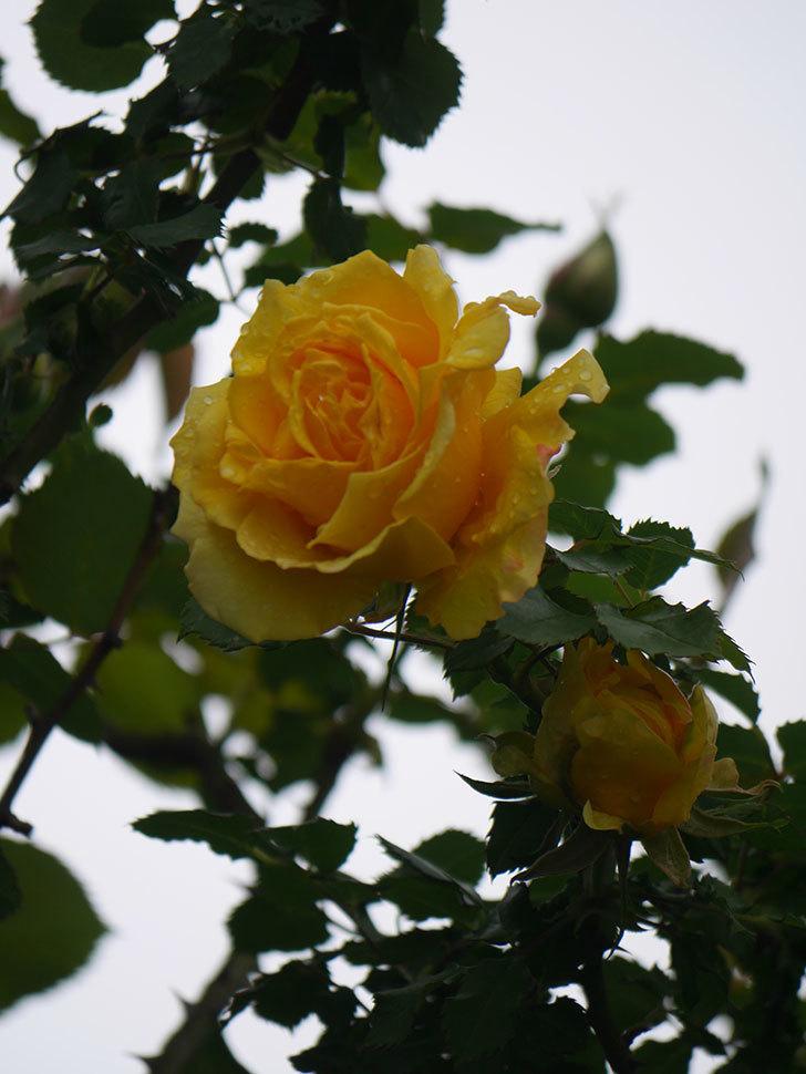 つるゴールドバニー(Gold Bunny Climbing)の花が咲いた。ツルバラ。2021年-027.jpg
