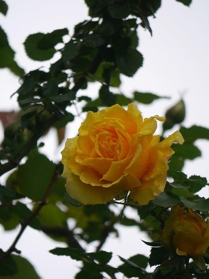 つるゴールドバニー(Gold Bunny Climbing)の花が咲いた。ツルバラ。2021年-028.jpg