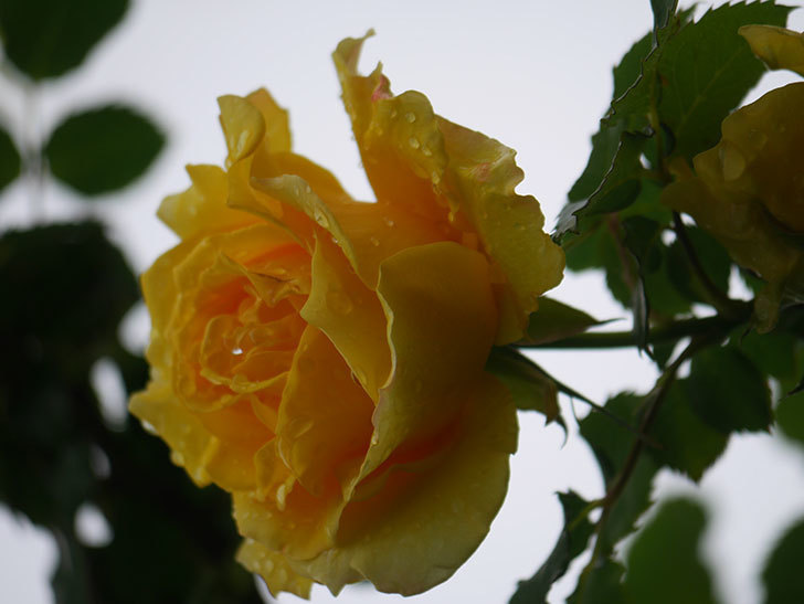 つるゴールドバニー(Gold Bunny Climbing)の花が咲いた。ツルバラ。2021年-029.jpg