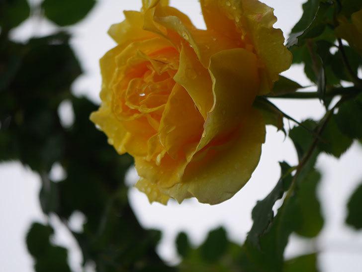 つるゴールドバニー(Gold Bunny Climbing)の花が咲いた。ツルバラ。2021年-030.jpg