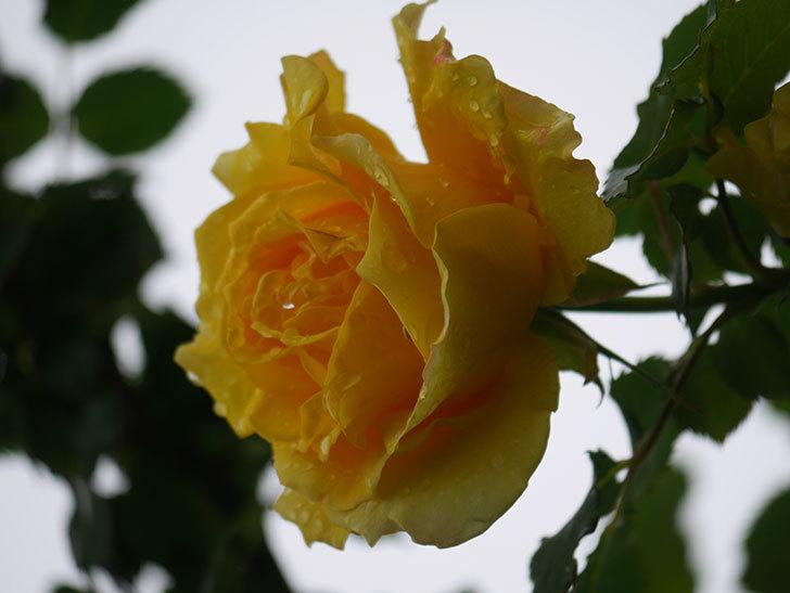 つるゴールドバニー(Gold Bunny Climbing)の花が咲いた。ツルバラ。2021年-031.jpg