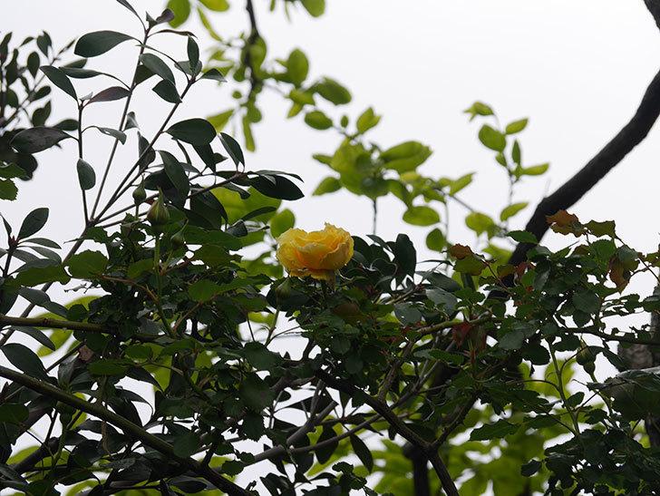 つるゴールドバニー(Gold Bunny Climbing)の花が咲いた。ツルバラ。2021年-032.jpg