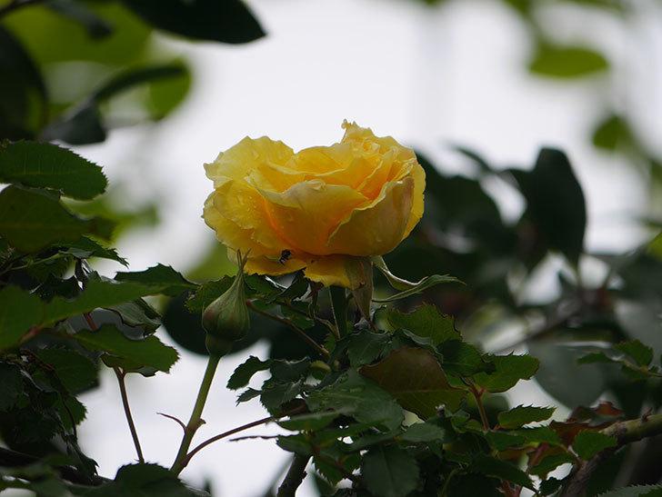 つるゴールドバニー(Gold Bunny Climbing)の花が咲いた。ツルバラ。2021年-033.jpg