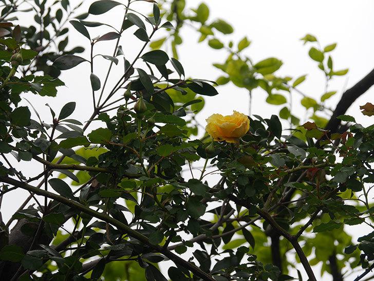つるゴールドバニー(Gold Bunny Climbing)の花が咲いた。ツルバラ。2021年-034.jpg